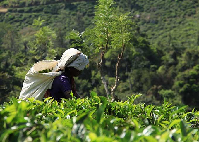 セイロン茶の収穫風景